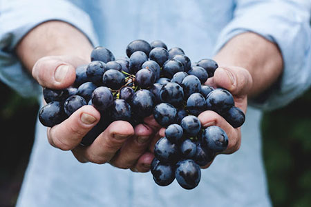 Hands holding a bunch of delicious juicy grapes