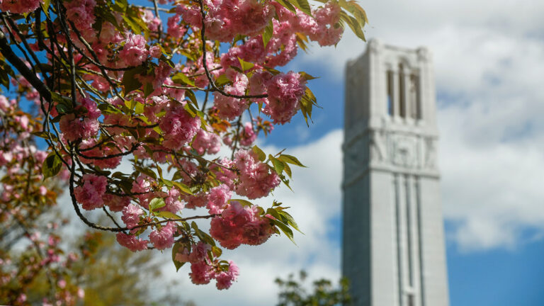 NC State Belltower with Kwanzan cherry tree